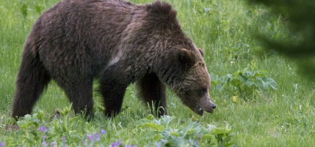 Entering occupied grizzly bear habitat (and comments)